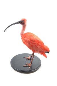 Opgezette Rode ibis