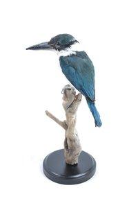 Opgezette Witkraagijsvogel