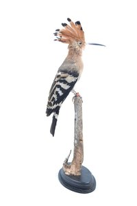 Mounted Hoopoe