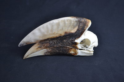 Schedel Witpootneushoornvogel man