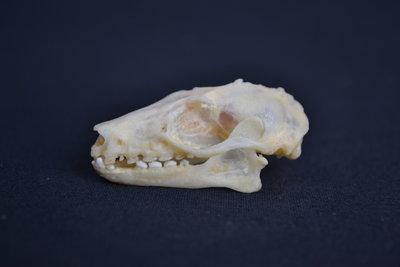 Schedel Leschenaultsvleerhond
