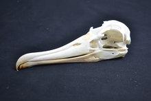 Schedel-Albatros