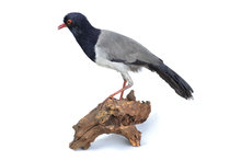 mounted ground cuckoo taxidermy