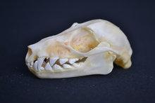 schedel kalong