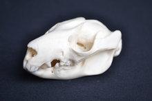 schedel voskoesoe