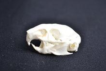 schedel degoe