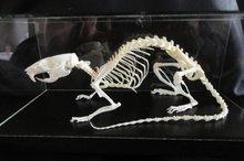 Skelet-Rat