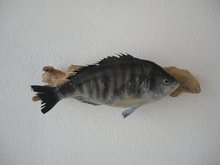 Mounted-Seabream