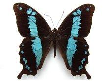 Papilio-oribazus