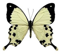 Papilio-dardanus