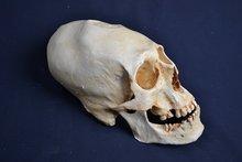 Replica-Paracas-schedel