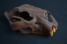 Replica-Holenleeuw-schedel